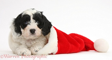 Cute Cavapoo puppy in a Santa hat