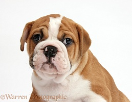 Bulldog puppy portrait