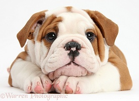 Bulldog puppy with chin on paws