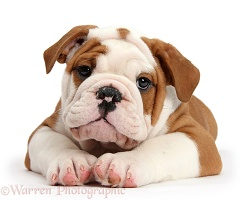 Bulldog puppy lying with head up