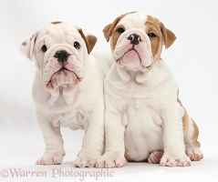 Two bulldog puppies sitting