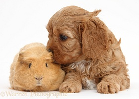 Cute red Cavapoo puppy with a Guinea pig