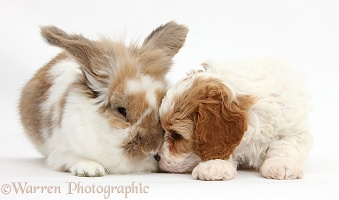 Cute Cavapoo puppy with rabbit