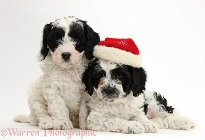Cute Cavapoo puppies wearing Santa hat