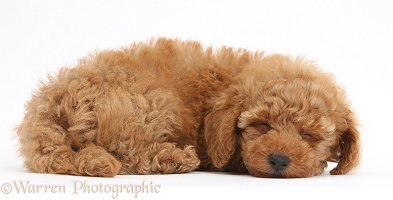 Two cute sleepy red Toy Poodle puppy