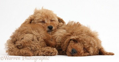 Two cute sleepy red Toy Poodle puppies