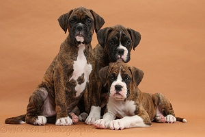 Three Boxer puppies, 8 weeks old, on brown background