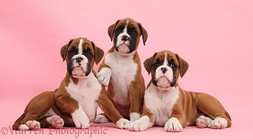 Three Boxer puppies, 8 weeks old, on pink background