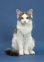 Grey-and-white cat on blue background