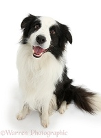 Black-and-white Border Collie dog