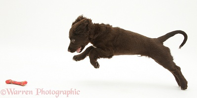 Chocolate Cocker Spaniel puppy leaping