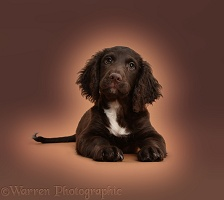 Chocolate Cocker Spaniel puppy on brown background
