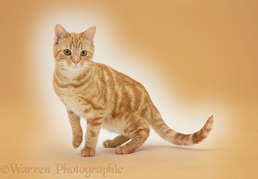 Ginger cat on orange background
