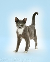 Burmese-cross cat standing on blue background