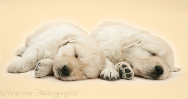 Two cute sleepy Golden Retriever pups