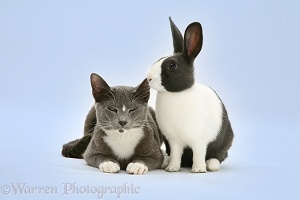 Burmese-cross cat and Dutch rabbit on blue background
