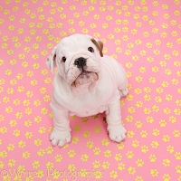 Bulldog puppy on pink background