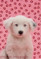 Mostly white Border Collie pup, pink pawprint background