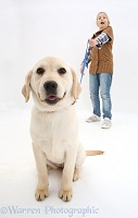 Yellow Labrador Retriever pup straining at the leash