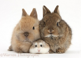 Roborovski Hamster with cute baby bunnies