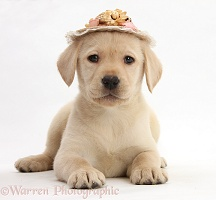 Yellow Labrador pup wearing a straw hat