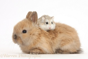 Roborovski Hamster riding on the back of cute baby bunny