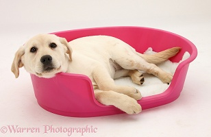Yellow Labrador pup lying in a plastic dog bed