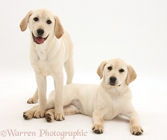 Yellow Labrador Retriever pups, 4 months old