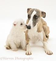Whippet and cute Westie puppy nose-to-nose