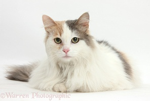 Turkish Van-cross female cat