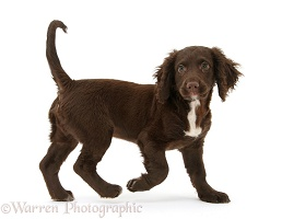 Chocolate Cocker Spaniel puppy walking across