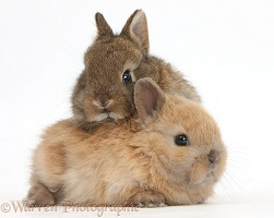 Two cute baby Netherland Dwarf rabbits