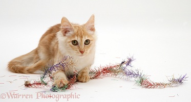 Red silver Turkish Angora cat with Christmas tinsel