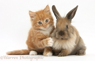 Ginger kitten and young Lionhead-Lop rabbit