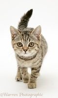 Brown spotted tabby kitten, walking forward with tail erect