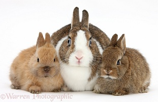 Mother Netherland Dwarf rabbit and baby bunnies