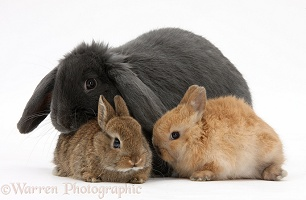 Blue lop rabbit and baby Netherland Dwarf bunnies