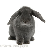 Blue lop rabbit