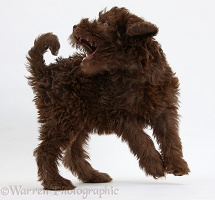 Chocolate Labradoodle puppy trying to catch its tail