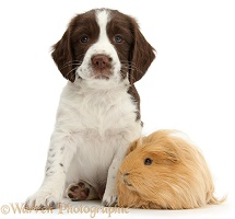 Working English Springer Spaniel puppy and Guinea pig