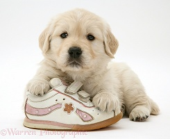 Golden Retriever pup with a child's shoe