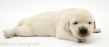 Cute baby Yellow Goldador Retriever puppy