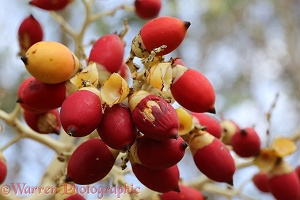Royal Palm (Roystonea regia) fruit