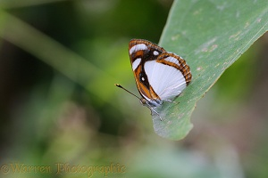 White Sailor butterfly
