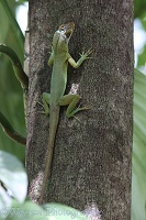Adult Anolis lizard in rain forest