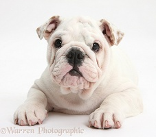 Mostly white Bulldog puppy, 12 weeks old