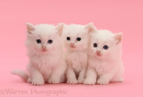 Three white kittens on pink background