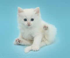 White kitten lounging on blue background