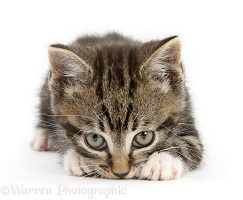 Tabby kitten sniffing the ground