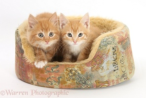 Ginger kittens in a soft cat bed